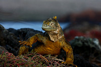 Land Iguana - Galapagos Islands
