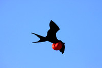 Magnificent Frigate bird (M)