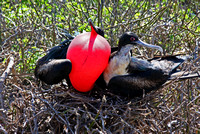 Magnificent Frigate bird (M/F)