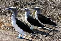 Blue footed booby - Ecuador