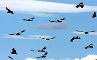 15 Condors in flight